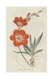 Saffron-Coloured Ixia, Tritonia Crocata Giclee Print by Sydenham Edwards