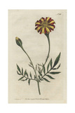French Marigold or Spreading Tagetes, Tagetes Patula Giclee Print by Sydenham Edwards