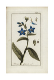Borage or Starflower, Borago Officinalis Giclee Print
