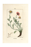 Pellitory of Spain, Anthemis Pyrethrum Giclee Print by Pierre Turpin