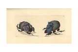 Rhinoceros Beetle and Cyanean Scarab Giclee Print by George Shaw