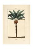Queen Sago, Cycas Circinalis Reproduction procédé giclée par Pierre Turpin