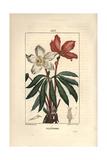 Christmas Rose or Black Hellebore, Helleborus Niger Giclee Print by Pierre Turpin