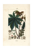 Castor Oil Plant or Ricin, Ricinus Communis (Ricinus Vulgaris) Reproduction procédé giclée par Pierre Turpin