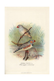 Zebra Finch, Taeniopygia Guttata Giclee Print by Frederick William Frohawk