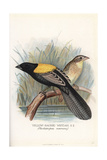Yellow-Mantled Widowbird, Euplectes Macroura Giclee Print by Frederick William Frohawk