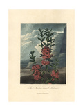Narrow-Leaved Kalmia, Kalmia Angustifolia Giclee Print by Philip Reinagle