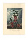 Narrow-Leaved Kalmia, Kalmia Angustifolia Giclee Print by Philip Reinagle