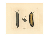 Sea Slug, Onchidium Typhae Giclee Print by Richard Nodder