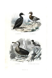 Black Scoter, Eurasian Teal, Albatross and Cape Petrel Giclee Print by Edouard Travies