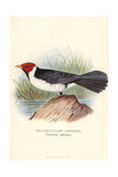Yellow-Billed Cardinal, Paroaria Capitata Giclee Print by Frederick William Frohawk