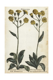 Wall Hawkweed and Succory-Leaved Hawkweed Giclee Print