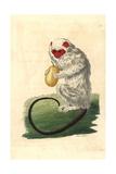 Silvery Marmoset, Mico Argentatus Giclee Print by Richard Nodder