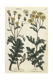 Sticky Groundsel, Senecio Viscosus, and Ragwort, Jacobaea Vulgaris Giclee Print