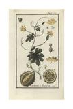 West Indian Gherkin, Cucumis Anguria Giclee Print
