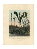 Curious American Bog Plants Giclee Print by Philip Reinagle