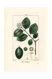 Strychnine Tree or Poison Nut, Strychnos Nux-Vomica Giclee Print by Pierre Turpin