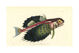 Flying Gurnard, Dactylopterus Volitans Giclee Print by Richard Nodder