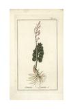 Moonwort, Botrychium Lunaria Giclée-Druck