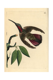 Green-Throated Mango Hummingbird, Anthracothorax Viridigula Giclee Print by George Shaw