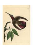 Green-Throated Mango Hummingbird, Anthracothorax Viridigula Giclee Print by George Shaw