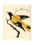 Black-Hooded Oriole, Oriolus Xanthornus Giclee Print by Richard Nodder