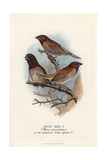 Scaly-Breasted Munia, Lonchura Punctulata Giclee Print by Frederick William Frohawk