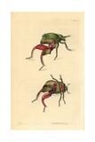 Kangaroo or Frog Beetle, Sagra Papuana Giclee Print by George Shaw