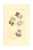 Marine Rotifera or Wheel Animals, Brachionus Urceolaris Giclee Print by Frederick Nodder