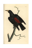 Red-Rumped Cacique, Cacicus Haemorrhous Giclee Print by Frederick Nodder