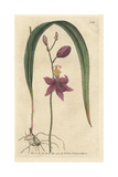 Bletia Purpurea Orchid Giclee Print by James Sowerby