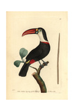 White-Throated Toucan, Ramphastos Tucanos Giclee Print by George Shaw