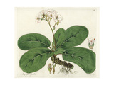 Elephant-Eared Saxifrage, Bergenia Pacumbis Giclee Print by William Jackson Hooker