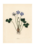Common Hepatica, Anemone Hepatica Giclee Print by M.A. Burnett