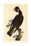Yellow-Tailed Black Cockatoo, Calyptorhynchus Funereus Giclee Print by Frederick Nodder