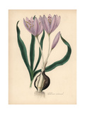 Common Meadow Saffron, Colchicum Autumnale Giclee Print by M.A. Burnett