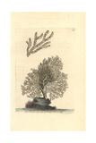 Mesophyllum Lichenoides Giclee Print by Richard Nodder