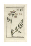 Marsh Parsley, Selinum Palustre Giclée-Druck