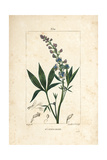 Lice-Bane or Stavesacre, Delphinium Staphisagria Giclee Print by Pierre Turpin