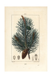 Wild Pine Tree or Scots Pine, Pinus Sylvestris Giclee Print by Pierre Turpin