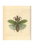 Praying Mantis, Stagmatoptera Precaria Giclee Print by George Shaw