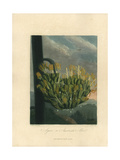 Agave or American Aloe, Agave Americana Giclee Print by Philip Reinagle