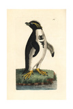 Southern Rockhopper Penguin, Eudyptes Chrysocome Vulnerable Giclee Print by Richard Nodder