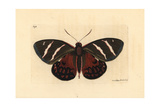 Castnia Invaria Moth, Castnia Invaria Giclee Print by Richard Nodder