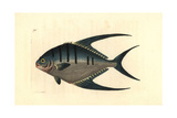 Derbio or Pompano Fish, Trachinotus Ovatus Giclee Print by Richard Nodder