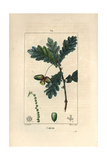Oak Tree, Quercus Robur, with Acorn, Leaves and Branch Giclee Print by Pierre Turpin