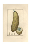 Cucumber, Cucumis Sativa, Showing Ripe Fruit Giclee Print by Pierre Turpin