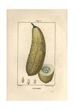 Cucumber, Cucumis Sativa, Showing Ripe Fruit Giclee Print by Pierre Turpin