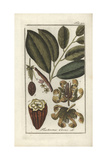 Cacao or Cocoa Tree, Theobroma Cacao Giclée-Druck