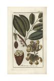 Cacao or Cocoa Tree, Theobroma Cacao Giclee Print